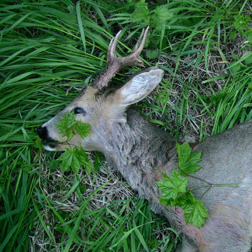 First roebuck of the season 2011